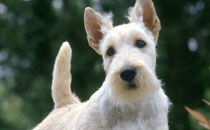 Terrier Escocês (Scoth Terrier)